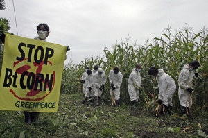 Greenpeace volunteers cordon off a plantation of Bt corn and mark it as a hot-zone in Mindoro, the Philippines © Thanhnien News