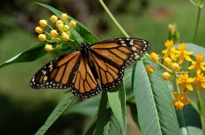 Monarch butterfly populations are  not impacted by GM crops  (image: en.wikipedia.org)